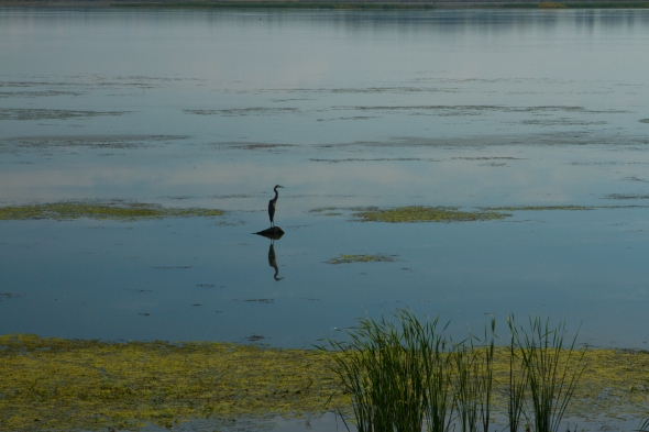 Heron at Emiquon