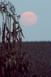 Hunter moon over corn stalks