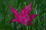 Red Leaf, Green Grass, II
